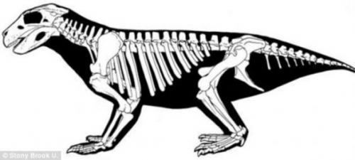 Simosuchus鳄外形更像是犰狳而非鳄鱼,它们总是慢慢爬行于半干旱草地。  科学家根据最新发现的骨骼,拼凑出这种史前鳄鱼的身体结构。  Simosuchus鳄的头骨表明,这种史前鳄鱼不是食肉动物,而是完全以食草为生。 北京时间12月17日消息,考古学家发现了一种古代鳄鱼的骨骼,这种鳄鱼的口鼻部像猪的一样,而且完全以食草为生。 新发现的史前鳄鱼学名为Simosuchus clarki,在距今大约6600万年前的恐龙时代末期生活在马达加斯加岛,外形与今天的鳄鱼截然不同,口鼻部钝圆,牙齿呈叶状,身体短小如