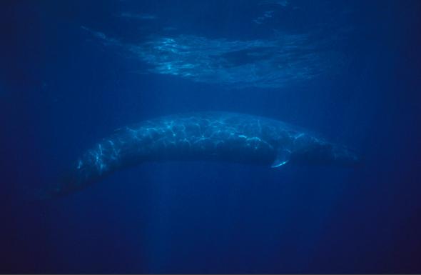 地球最大的动物蓝鲸:舌头重量堪比大象(图)