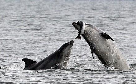 摄影师捕捉宽吻海豚捕食大马哈鱼瞬间