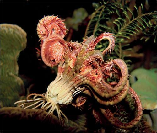 奇妙海洋生物照片:海百合