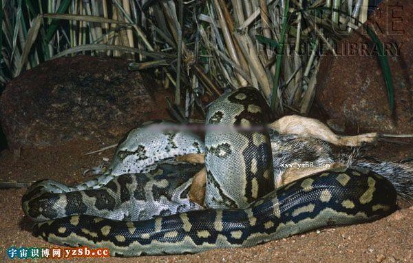 实拍最巨大的凶险非洲岩蟒蛇捕杀吞噬动物的惊悚图