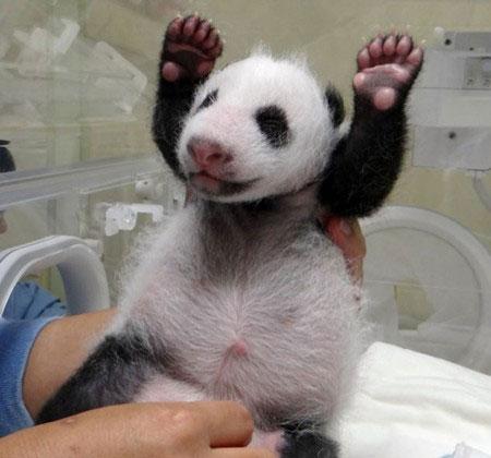 挥挥小爪来卖萌 熊猫宝宝欢乐多