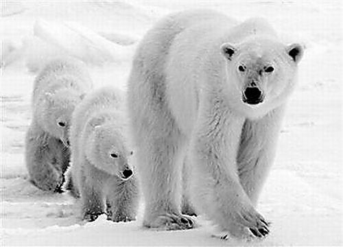 海冰消失致北极熊以鸟蛋为食-科学实验