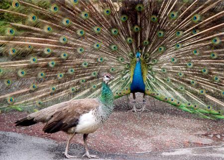 英国动物孔雀图片