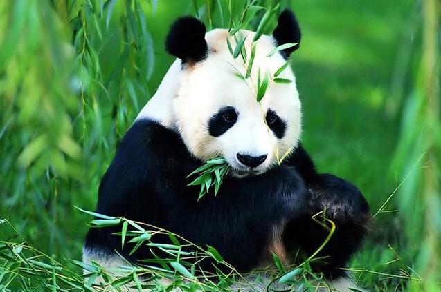 大熊猫或许像是食草动物