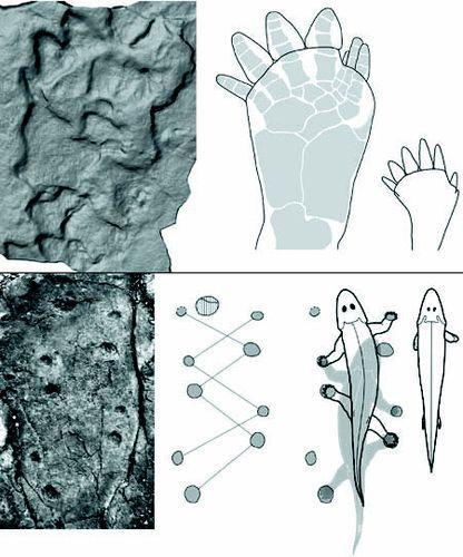 研究发现最古老四足动物证据